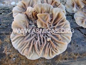 auricularia_mesenterica