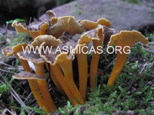 cantharellus_lutescens