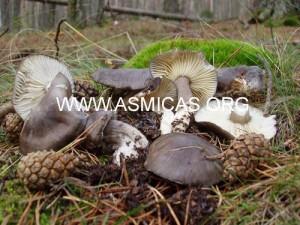 hygrophorus_camarophyllus
