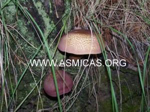 tricholomopsis_rutilans